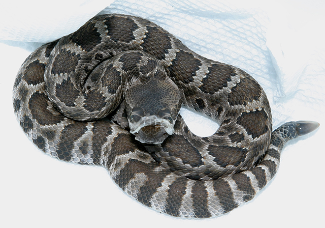 A 10-day-old Northern Pacific Rattlesnake beginning his post-partum shed while being processed during my El Dorado Hills field study.