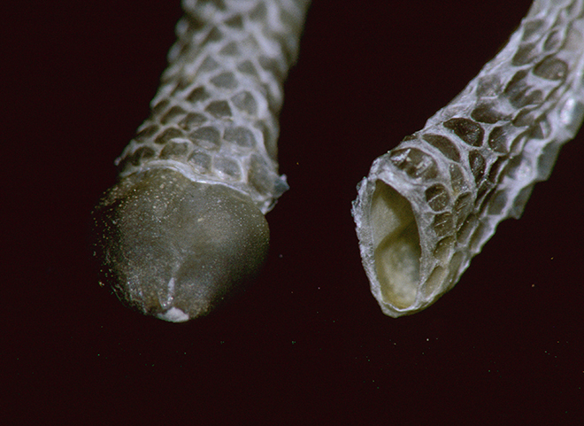 """Skins"" from post-partum sheds showing the neonatal rattle caps. The one on the right is in its natural condition (inside-out); the one on the left has been manually everted to expose the cap."
