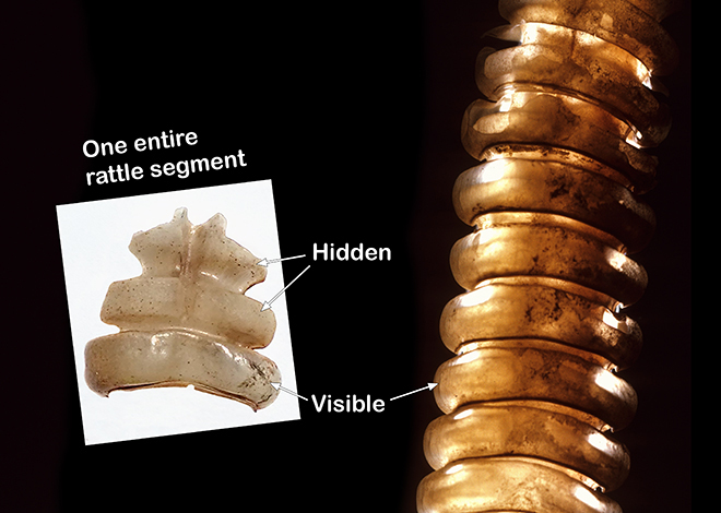 A single rattle segment from a mature rattlesnake, showing the three-lobed structure (left). On the right is a back-lit rattle from an old rattlesnake (note the lack of taper) showing how the segments interconnect. Older segments are at the top of the photo.