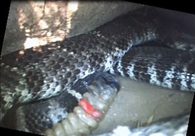 Male 36 inside another hollow log on 25 August 2015 with at least three pregnant females and a smaller male. Compared to the 2 October photo (above), note that he has two additional rattle segments between the paint and the live black segment, indicating he has shed twice in the past ten months.