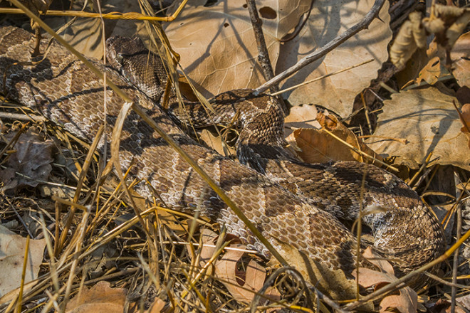 Recently postpartum female Northern Pacific Rattlesnake (CROR39) with recent food bolus, basking on 10 September 2015 near Effie Yeaw Nature Center. Original RAW IMG_8606.CR2.