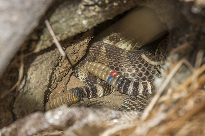 Females 39 (red/blue) and 53 (blue/yellow) laying together in their gestation shelter on Saturday, 3 September, illuminated by sunluight reflected from a mirror. Both were still pregnant. They are laying on top of a recently shed skin from another large rattlesnake.