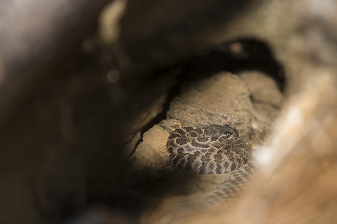 A newborn northern Pacific rattlesnake in the hollow log with females 39 and 53 on 6 September. His eyes are still clear, indicating he is no more than a day or two old.